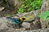 Calliste à tête dorée - Saffron-crowned Tanager