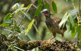 Ortalide maillée -Speckled Chachalaca