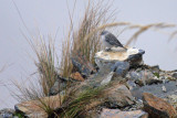 Haplospize plébéien - Ash-breasted Sierra-Finch