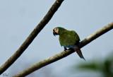 Ara vert - Chestnut-fronted Macaw