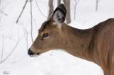 Cerf de Virginie -White-tailed deer