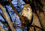 Grand-duc d'Amérique - Great Horned Owl