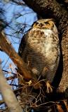 Grand-duc d'Amérique -Great horned owl