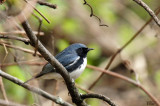 Paruline bleue - Black-throated blue warbler