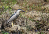 Bihoreau gris - Black-crowned Night-heron