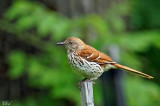 Moqueur roux - Brown thrasher