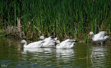 Oies des neiges -Snow geese