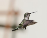 IMG_2706_Female_Black-chinned _Hummingbird