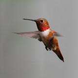 IMG_2803_Male Rufous Hummingbird.JPG