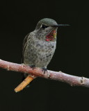 IMG_2854 Anna's Hummingbird