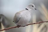 IMG_9642 Eurasian Collared-dove.JPG