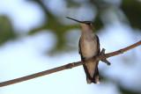 Female Black-chinned Hummingbird