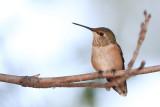 Famale Rufous Hummingbird