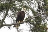 Bald Eagle Lincoln City, Oregon