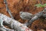 White-crowned Sparrow Siletz Bay