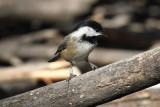 Banded Black-capped Chickadee