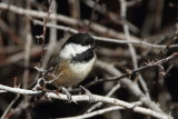 Black-capped Chickadee with leg band