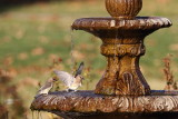 Cedar Waxwings at the water fountain