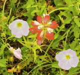 Indian Paintbrush with Evening Primrose.(purple)