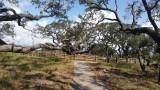 The Big Tree Live Oak
