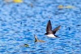 20170303-_MGL5563Rough Wing Swallow 2.jpg