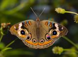 Buckeye Butterfly.jpg