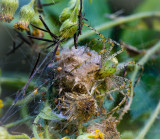Green Lynx Spider with babies.jpg