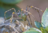 Mom Lynx Spider-2.jpg
