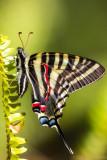 Zebra Swallowtail 1