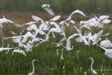20170310-_MGL6519150 Great Egrets 2.jpg
