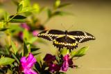 Giant Swallowtail 5.jpg