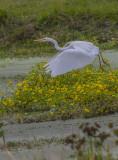 Great Blue Heron White Phase Sweetwater.jpg