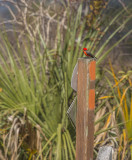 Vermillion Perched on Florida Trail Sign.jpg