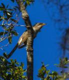 Yellow-billed Cuckoo.jpg