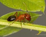 _MGL6740Carpenter Ant with MB1.jpg