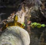 Yellow Bellied Slider Ichetucknee_.jpg