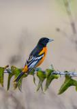 Baltimore Oriole-Ft.White Bird Count.jpg