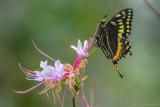 20170223-_MGL4880O'Leno Native Azela with Black Swallowtail 2.jpg