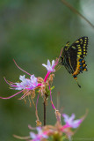 20170223-_MGL4880O'Leno Native Azela with Black Swallowtail.jpg
