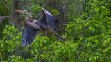 20170310-_MGL6411Great Blue in the woods.jpg