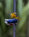 Baltimore Oriole at grape jelly station.jpg