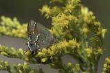 Callophrys gryneus sweadneri - Sweadner's Juniper Hairstreak (Olive Hair Streak)2.jpg