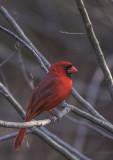 Cardinal at Andy Kratters.jpg