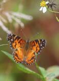 Cresent Butterfly.jpg