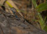 Eastern Fence Lizard male.jpg
