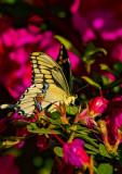 Giant Swallowtails High Springs-10.jpg