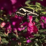 Giant Swallowtails High Springs-11.jpg