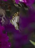 Giant Swallowtails High Springs-2.jpg