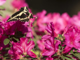 Giant Swallowtails High Springs-3.jpg