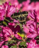 Giant Swallowtails High Springs-4.jpg